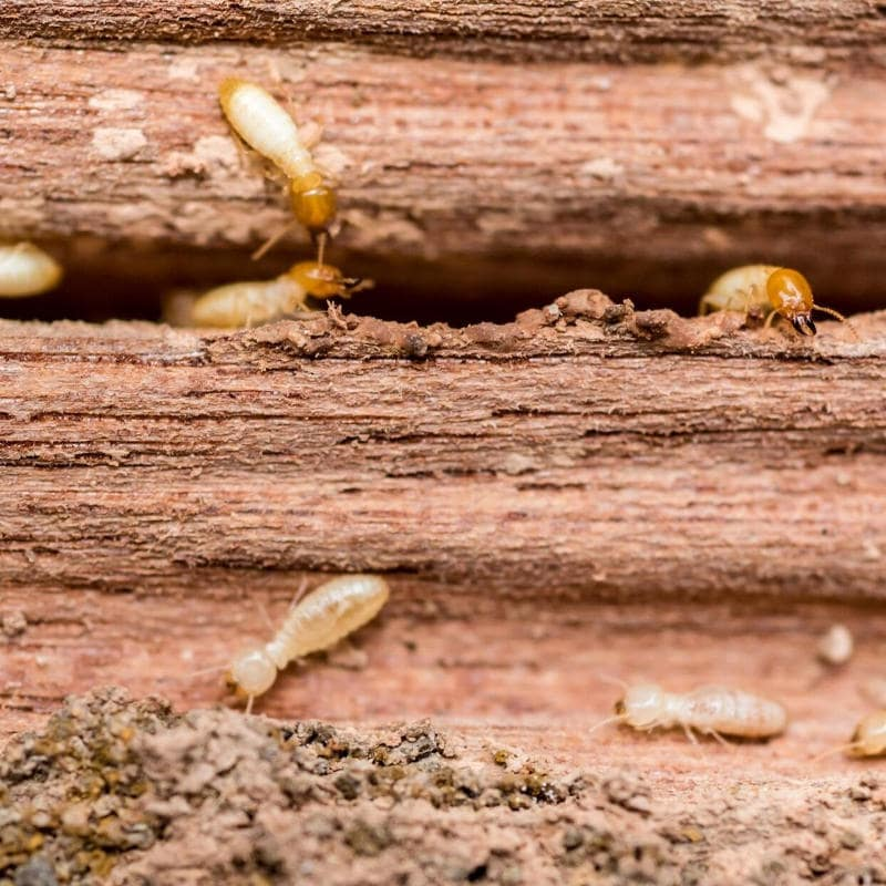 termite infestation of a home in yuma