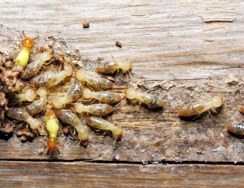 termites eating wood in yuma az