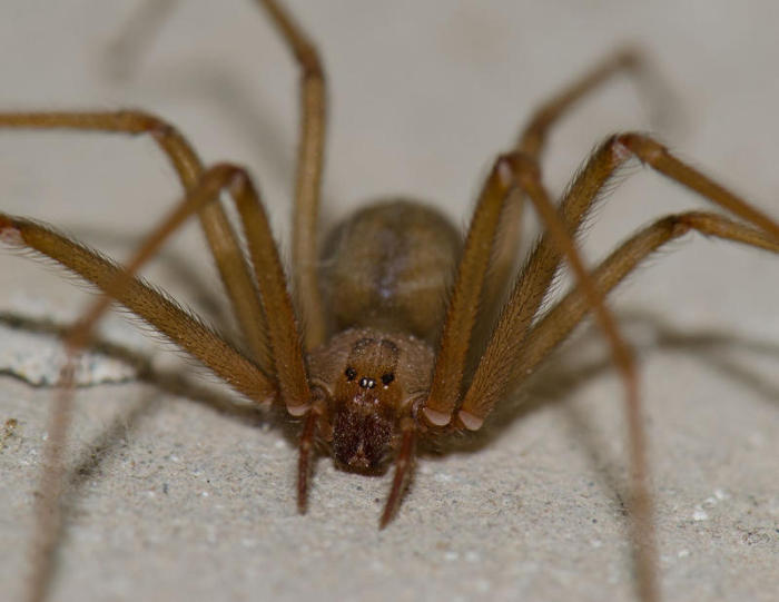 arizona recluse spider
