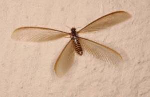 flying termite found in yuma arizona