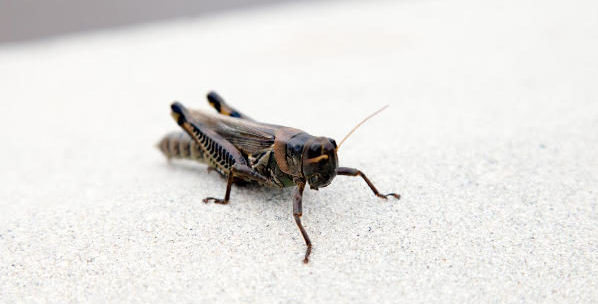 common house cricket