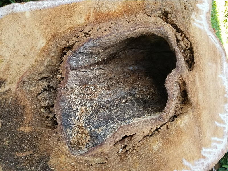 tree hollow from termite damage