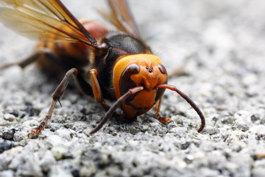 murder hornet also know as an Asian Giant Hornet