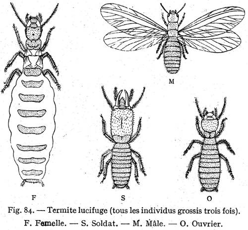 termite diagram showing parts like termite wings