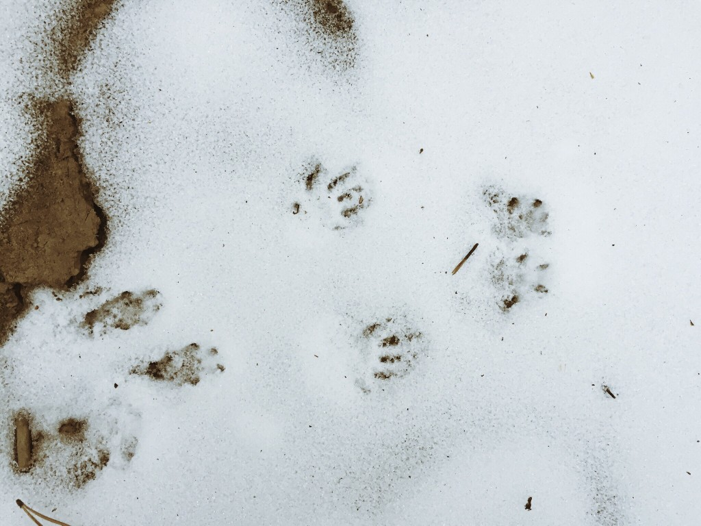 pest tracks in the snow winter