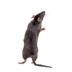 arizona roof rat in yuma
